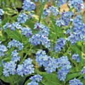 Forget-me-not (Myosotis)