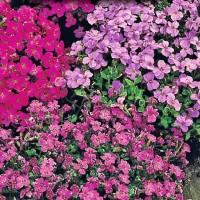 Aubrietia - Flower seeds Seeds • Tuinzaden.eu