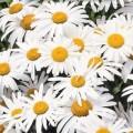 Daisy (Chrysanthemum)
