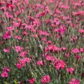 Maiden Pinks (Dianthus)