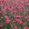 Pinks (Dianthus)