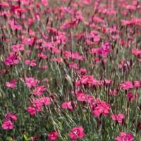 Pinks (Dianthus) - Flower seeds Seeds • Tuinzaden.eu