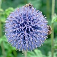 Kogeldistel (Echinops) - Bloemzaden Zaden kopen? Tuinzaden.eu