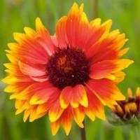 Blanket Flower (Gaillardia) - Flower seeds Seeds • Tuinzaden.eu