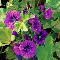 Mallow - Flower seeds Seeds • Tuinzaden.eu