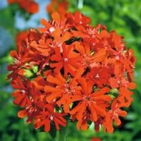 Maltese Cross (Lychnis) - Flower seeds Seeds • Tuinzaden.eu
