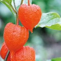 Lampionplant (Physalis) - Bloemzaden Zaden kopen? Tuinzaden.eu