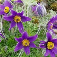 Pasque Flower (Pulsatilla) -   Flower Seeds