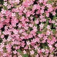 Rock Saopwort (Saponaria) - Flower seeds Seeds • Tuinzaden.eu