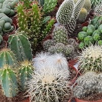 Cactus - Bloemzaden kopen? Tuinzaden.eu