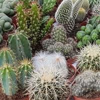 Cactus - Flower seeds Seeds • Tuinzaden.eu