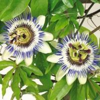 Passion Flower (Passiflora) - Flower seeds Seeds • Tuinzaden.eu