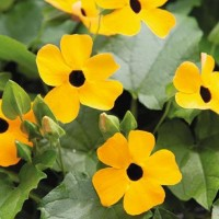 Black eyed Susan (Thunbergia) - Flower seeds Seeds • Tuinzaden.eu