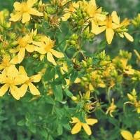 St. Johns Wort -   Flower Seeds