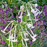 Tabacco (Nicotiana) - Flower seeds Seeds • Tuinzaden.eu