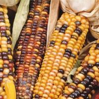 Ornamental Corn -   Flower Seeds