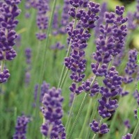 Lavendel - Kruidenzaden kopen? Tuinzaden.eu