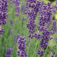 Lavender -   Spices & Herb Seeds