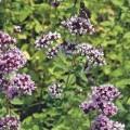 Perennial Marjoram