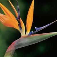 Strelitzia - Flower seeds Seeds • Tuinzaden.eu