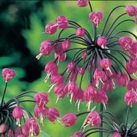Sierui (Allium cernuum) - Bloemzaden kopen? Tuinzaden.eu
