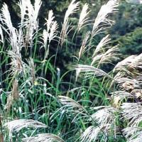 Ornamental Grass -   Flower Seeds