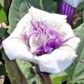 Trompetplant - Datura