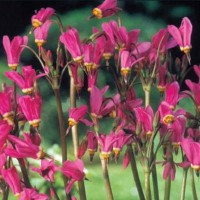 Shooting Stars (Dodecatheon) -   Flower Seeds