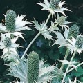 Sea Holly (Ernyngium)