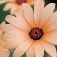 African Daisy (Dimorphotheca) -   Flower Seeds
