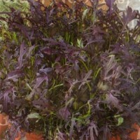 Oriental Mustard - Leafy vegetables Vegetable seeds • Tuinzaden.eu
