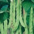 Climbing String Beans