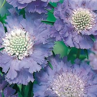 Scabious - Flower seeds Seeds • Tuinzaden.eu