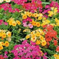 Nemesia - Flower seeds Seeds • Tuinzaden.eu