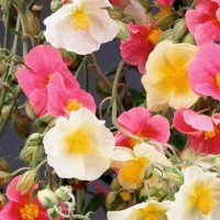 Rock Rose - Flower seeds Seeds • Tuinzaden.eu