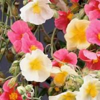 Zonneroosje - Bloemzaden Zaden kopen? Tuinzaden.eu