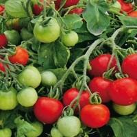 Bush Tomatoes - Vegetable seeds Fruit crop Seeds • Tuinzaden.eu