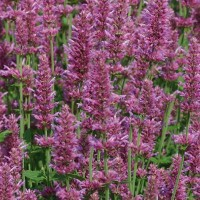 Agastache - Flower seeds Seeds • Tuinzaden.eu
