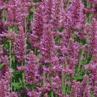 Dropplant (Agastache) - Bloemzaden kopen? Tuinzaden.eu