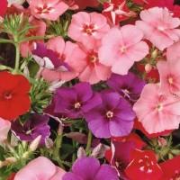 Vlambloem (Phlox) - Flower seeds Seeds • Tuinzaden.eu