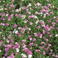 Virginian Stock (Malcolmia Maritima) -   Flower Seeds