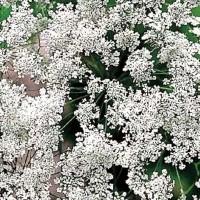 Witte Kantbloem (Ammi) - Bloemzaden Zaden kopen? Tuinzaden.eu