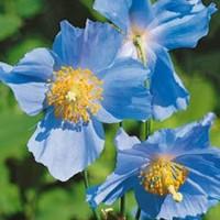 Meconopsis - Flower seeds Seeds • Tuinzaden.eu