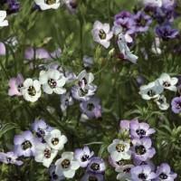 Gilia - Flower seeds Seeds • Tuinzaden.eu