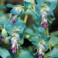 Wax Flower (Cerinthe)