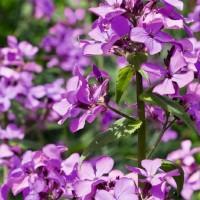 Honesty (Lunaria) -   Flower Seeds