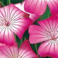 Bolderik (Agrostemma) - Bloemzaden Zaden kopen? Tuinzaden.eu