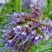 Bijenvoer (Phacelia) - Bloemzaden Zaden kopen? Tuinzaden.eu