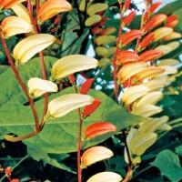 Mina Lobata -   Flower Seeds