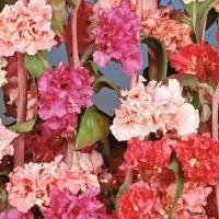 Clarkia - Flower seeds Seeds • Tuinzaden.eu